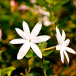 White Jasmine flowers — Stock Photo #9201992