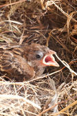 Baby house sparrow close up — Stock Photo