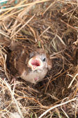 Baby house sparrow — Stock Photo
