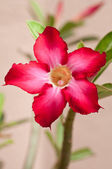 Red desert rose flower close up — Stock Photo