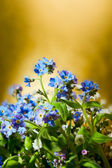 Blue nots flowers on gold or yellow background — Stock Photo