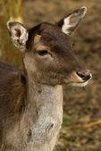 Wild, damherten, portret op natuurlijke herfst achtergrond — Stockfoto