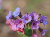 цветы медуницей. — Стоковое фото