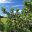 Stock Photo: Green branches of pine with young cones.