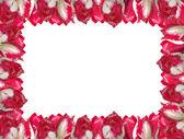 赤白のチューリップは、白い背景で隔離からフレーム. — ストック写真
