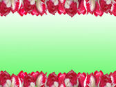 Frame from the red-white tulips, isolated on a white and green b — Stock Photo