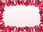 白とピンクの ba に分離した赤白のチューリップとフレーム — ストック写真