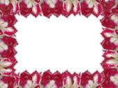 Quadro com as tulipas vermelho-branco, isolado em um fundo branco. — Foto Stock
