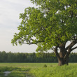 Stock Photo: Green krone of sprawling old oak tree.