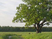 Green krone of a sprawling old oak tree. — Stock Photo