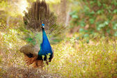 Peacock with tail extended — Stock Photo