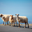 Sheeps on the road — Stock Photo