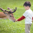Little boy feeding deer in farm — Stock Photo