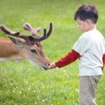 Little boy feeding deer in farm — Stock Photo