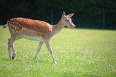 пятнистый олень на лугу — Стоковое фото