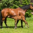 Sucking foal and mare — Stockfoto