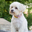 Havanese dog — Stock Photo #10428466