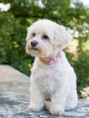 Havanese dog — Stock Photo