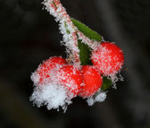 White frost on barberry — Stock Photo