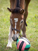 Foal with ball — Stock Photo