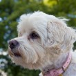 Havanese dog — Stock Photo #8363574