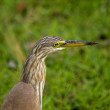 Indian pond-heron - Ardeola grayii — Stock Photo #8444354