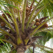 Coconut palm - Cocos nucifera — Stock Photo #8849258