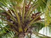 Coconut palm - Cocos nucifera — Stock Photo