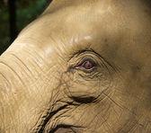 Elephas maximus - éléphant d'asie — Photo