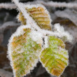 White frost on leaves — Stock Photo