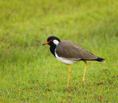 Red-wattled lapwing - Vanellus indicus lankae — Stock Photo