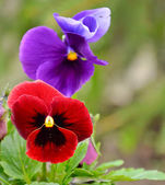 Purple and red pansies — Stock Photo