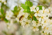 Cherry blossom and bee — Stock Photo