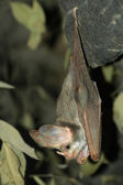 Hanging bat — Stock Photo