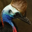 Stock Photo: Cassowary