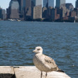 Stock Photo: New yorks seagull