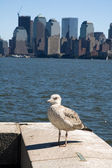 New yorks seagull — Stock Photo