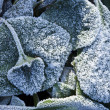 Royalty-Free Stock Photo: Elephant\'s Ears plant in heavy frost