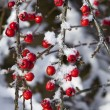 Stock Photo: Snow dusted red berries