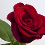 única rosa vermelha — Foto Stock
