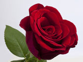 Single red rose — Stock Photo