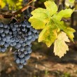 Stock Photo: Grapes of merlot and leaf yellowing
