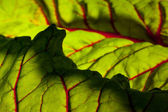 Red chard leaf — Stock Photo