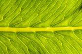 "Close up of a leaf ""Osmonde royale"" — Stock Photo"