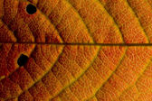 Cherry leaf in Autumn — Stock Photo