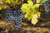 Grapes of merlot and leaf yellowing — Stock Photo
