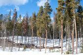 Kmeny stromů v zimě — Stock fotografie