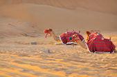 2 camels in desert, sunset — Stock Photo