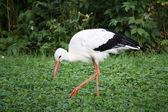 Cicogna bianca — Foto Stock