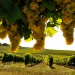 Vineyard four — Stock Photo